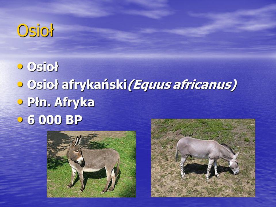 Osioł Osioł Osioł afrykański(Equus africanus) Płn. Afryka 6 000 BP