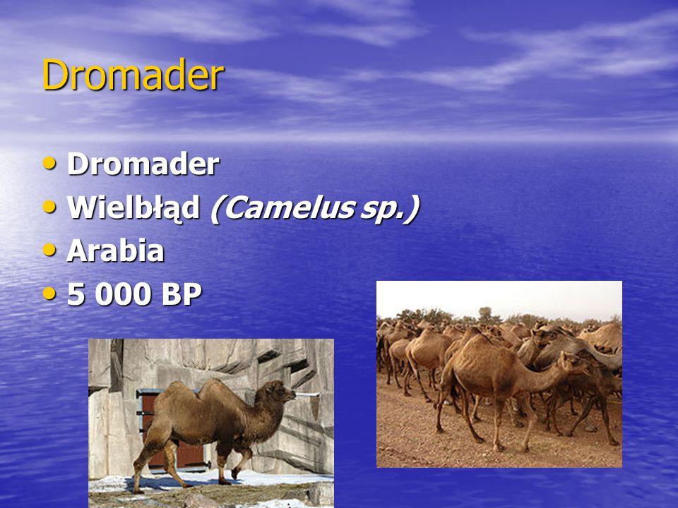 Dromader Dromader Wielbłąd (Camelus sp.) Arabia 5 000 BP
