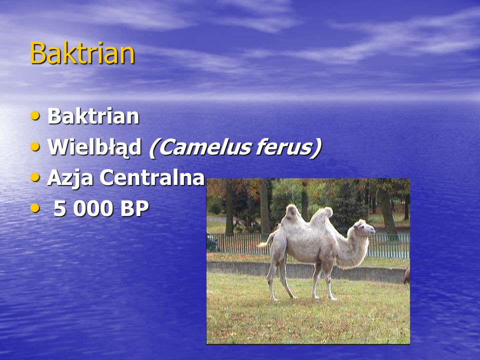 Baktrian Baktrian Wielbłąd (Camelus ferus) Azja Centralna 5 000 BP