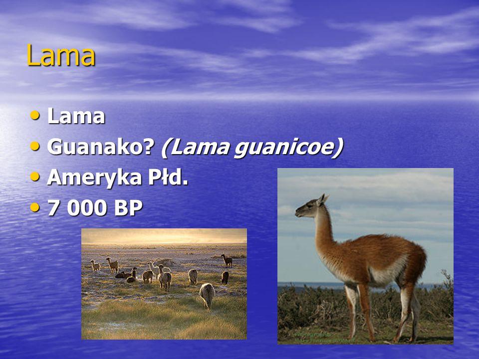 Lama Lama Guanako (Lama guanicoe) Ameryka Płd. 7 000 BP