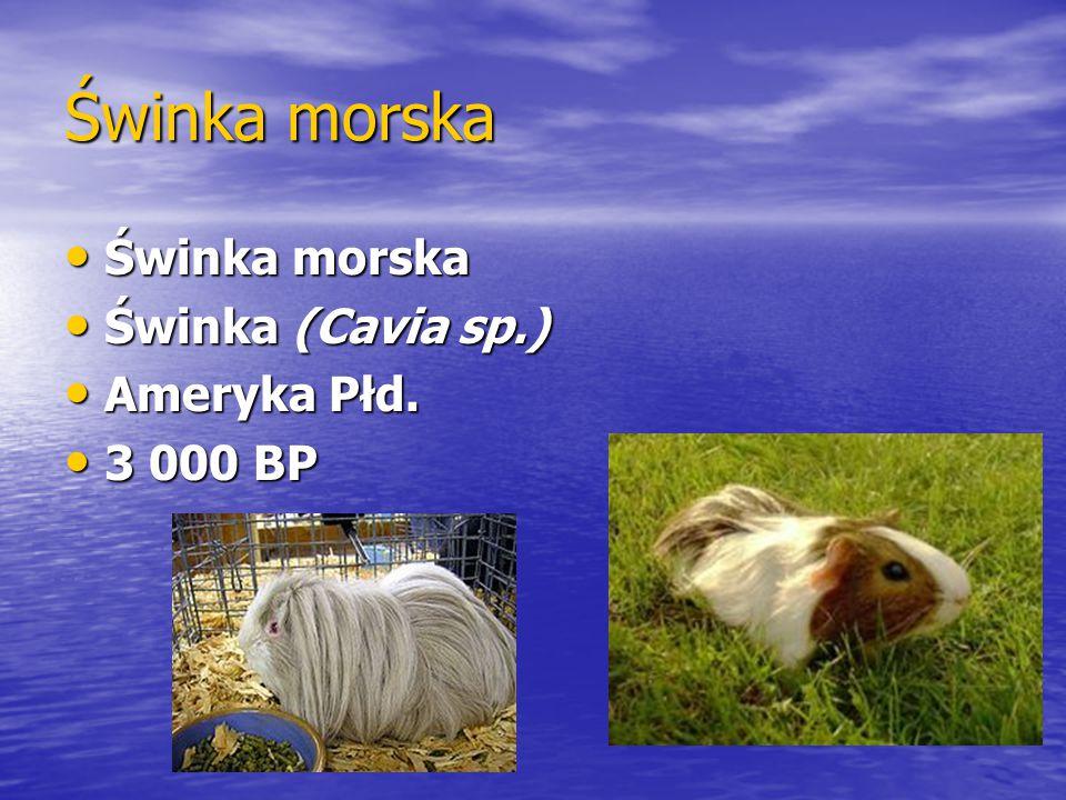 Świnka morska Świnka morska Świnka (Cavia sp.) Ameryka Płd. 3 000 BP