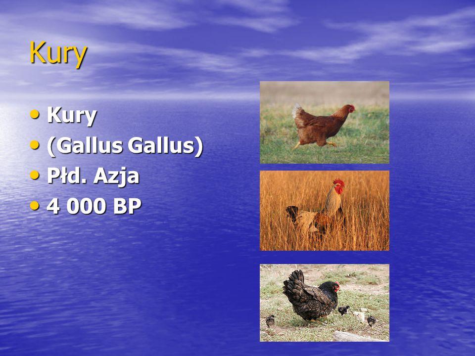 Kury Kury (Gallus Gallus) Płd. Azja 4 000 BP