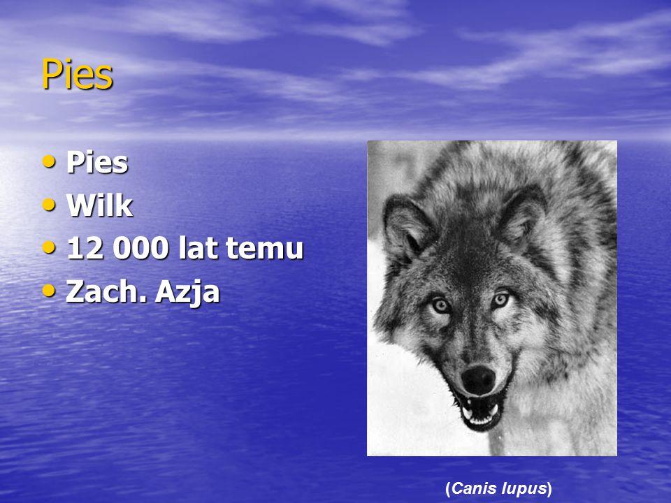 Pies Pies Wilk 12 000 lat temu Zach. Azja (Canis lupus)