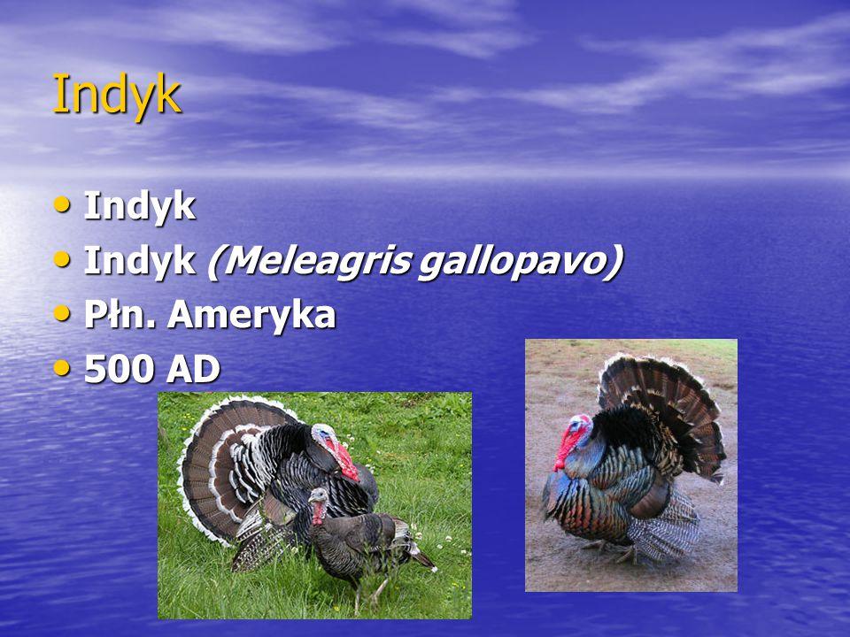 Indyk Indyk Indyk (Meleagris gallopavo) Płn. Ameryka 500 AD