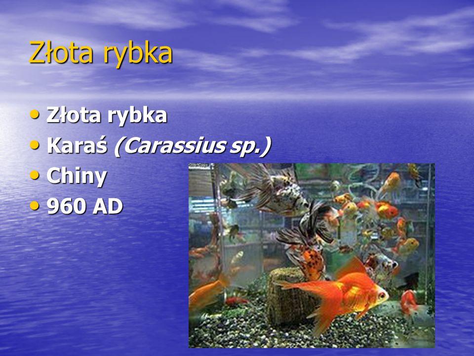 Złota rybka Złota rybka Karaś (Carassius sp.) Chiny 960 AD