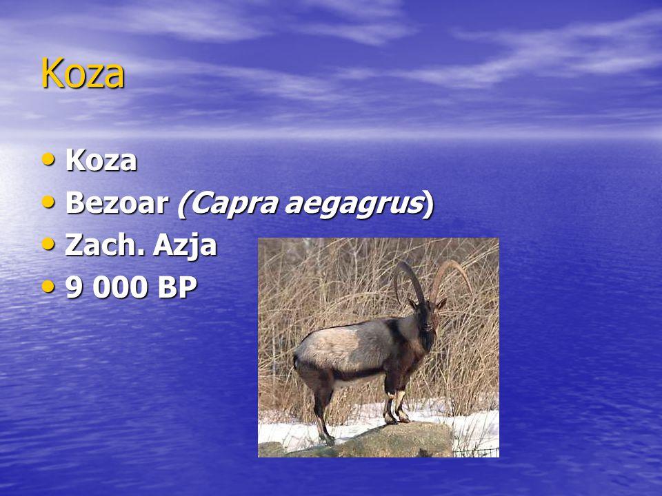 Koza Koza Bezoar (Capra aegagrus) Zach. Azja 9 000 BP