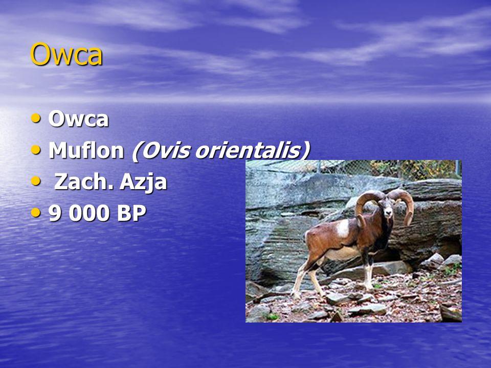 Owca Owca Muflon (Ovis orientalis) Zach. Azja 9 000 BP