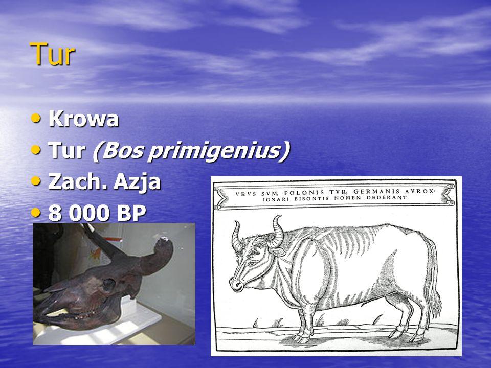 Tur Krowa Tur (Bos primigenius) Zach. Azja 8 000 BP