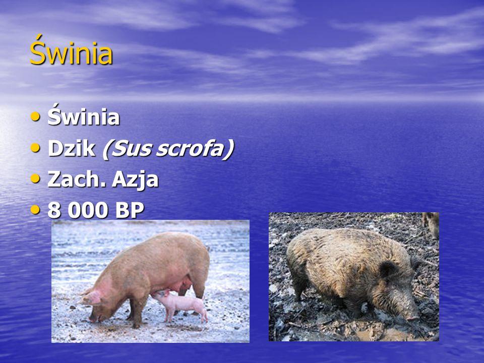 Świnia Świnia Dzik (Sus scrofa) Zach. Azja 8 000 BP
