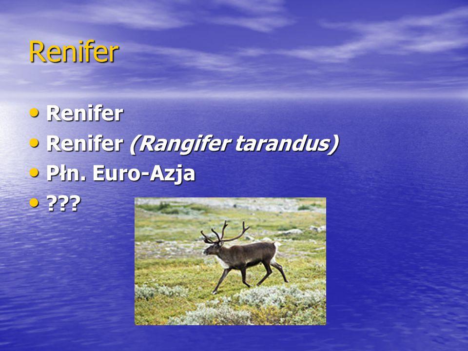 Renifer Renifer Renifer (Rangifer tarandus) Płn. Euro-Azja