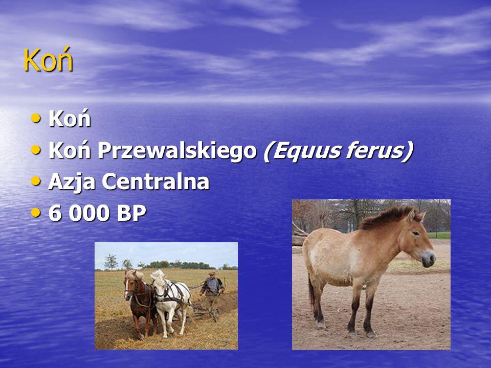 Koń Koń Koń Przewalskiego (Equus ferus) Azja Centralna 6 000 BP