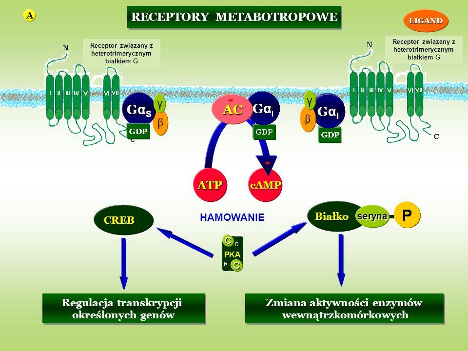 - - HAMOWANIE GαS AC GαI RECEPTORY METABOTROPOWE γ γ β β ATP cAMP