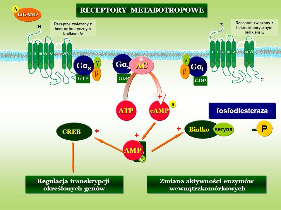 + GαS AC GαI + + + + RECEPTORY METABOTROPOWE γ γ β β ATP