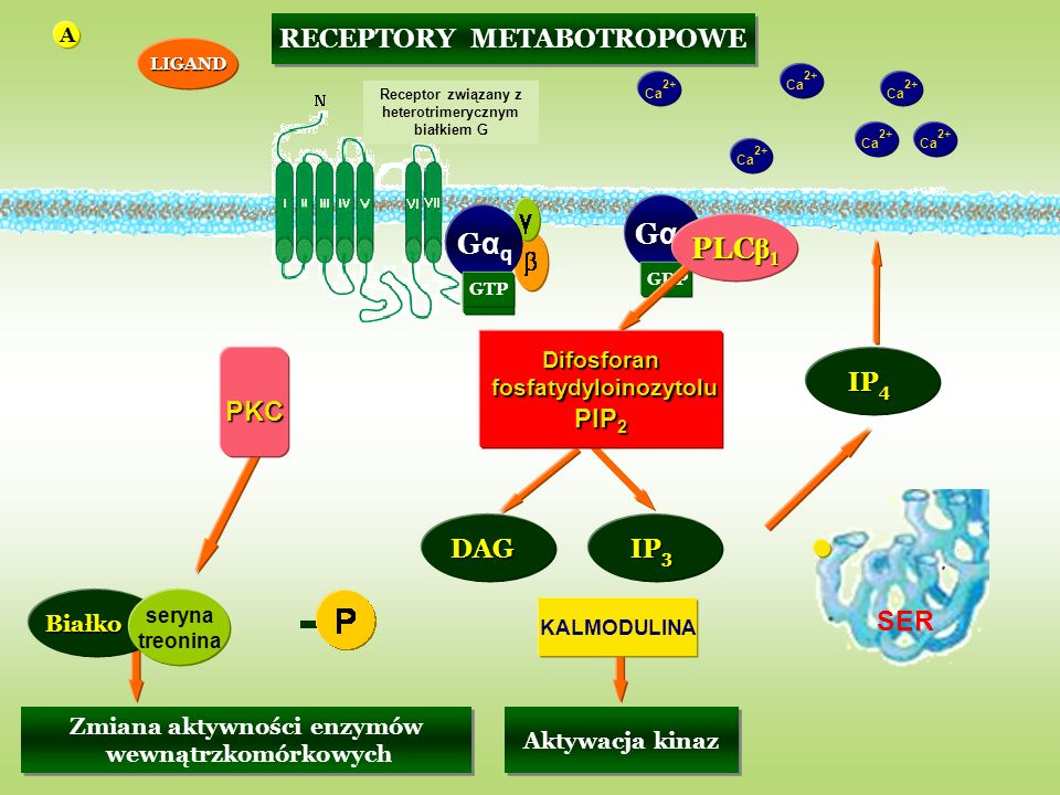 PKC SER Gαq Gαq Gαq PLCβ1 RECEPTORY METABOTROPOWE PIP2 IP4 DAG IP3