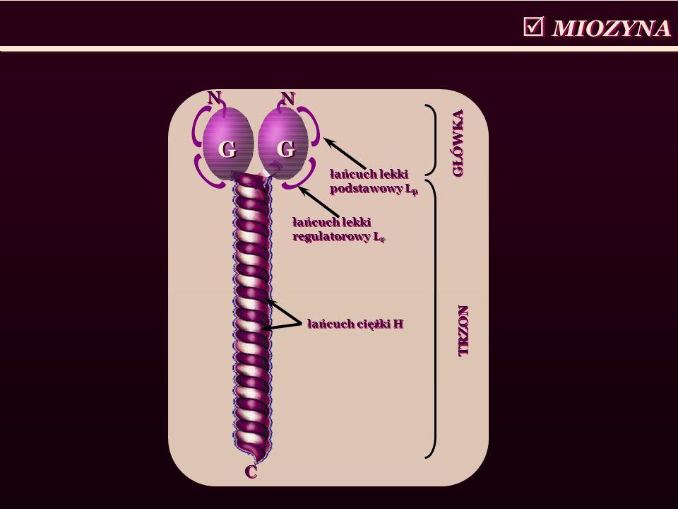 MIOZYNA G N C GŁÓWKA TRZON łańcuch lekki podstawowy Lp
