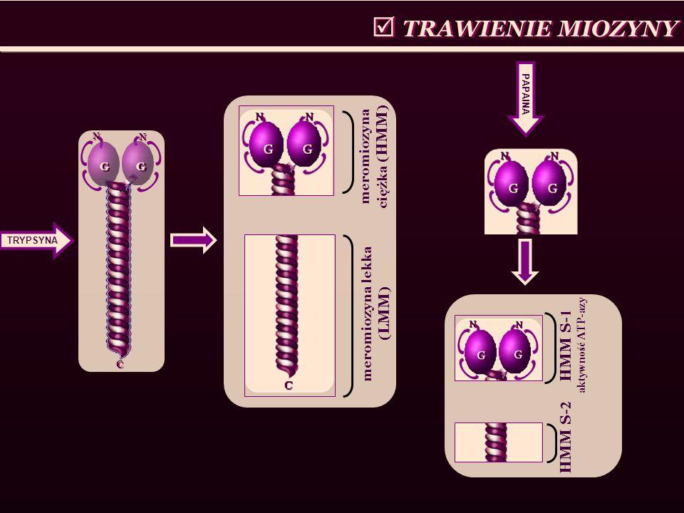  TRAWIENIE MIOZYNY HMM S-1 aktywność ATP-azy HMM S-2
