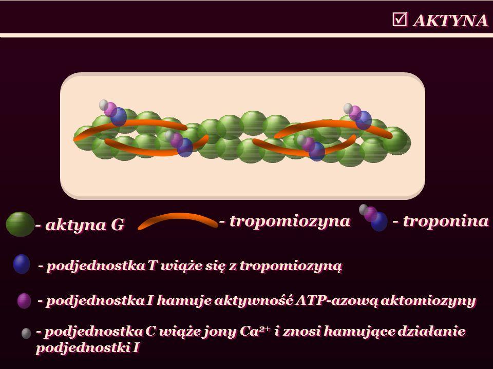  AKTYNA - aktyna G - tropomiozyna - troponina