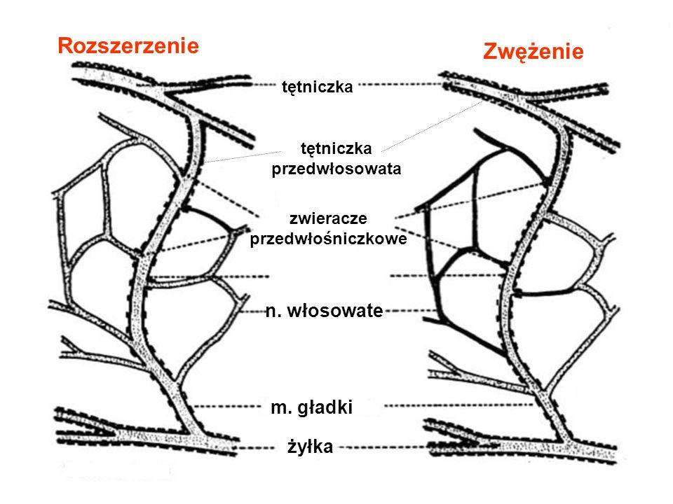 tętniczka przedwłosowata zwieracze przedwłośniczkowe