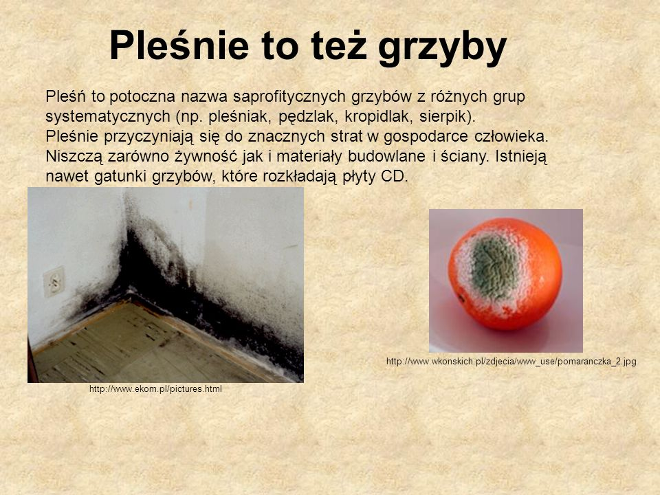 Pleśnie to też grzyby Pleśń to potoczna nazwa saprofitycznych grzybów z różnych grup systematycznych (np. pleśniak, pędzlak, kropidlak, sierpik).
