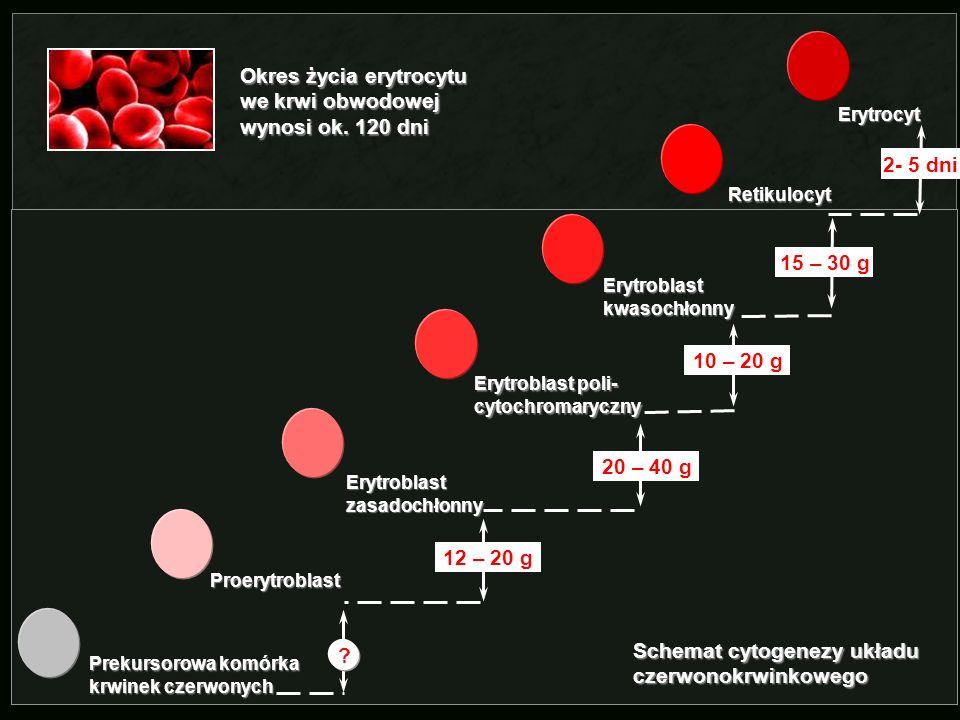 Okres życia erytrocytu we krwi obwodowej wynosi ok. 120 dni
