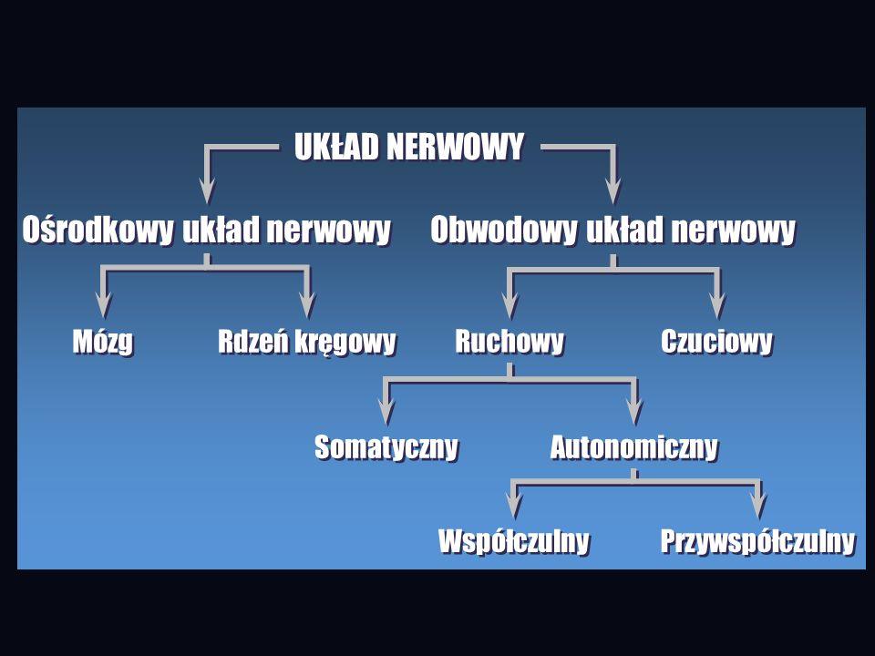 Ośrodkowy układ nerwowy Obwodowy układ nerwowy
