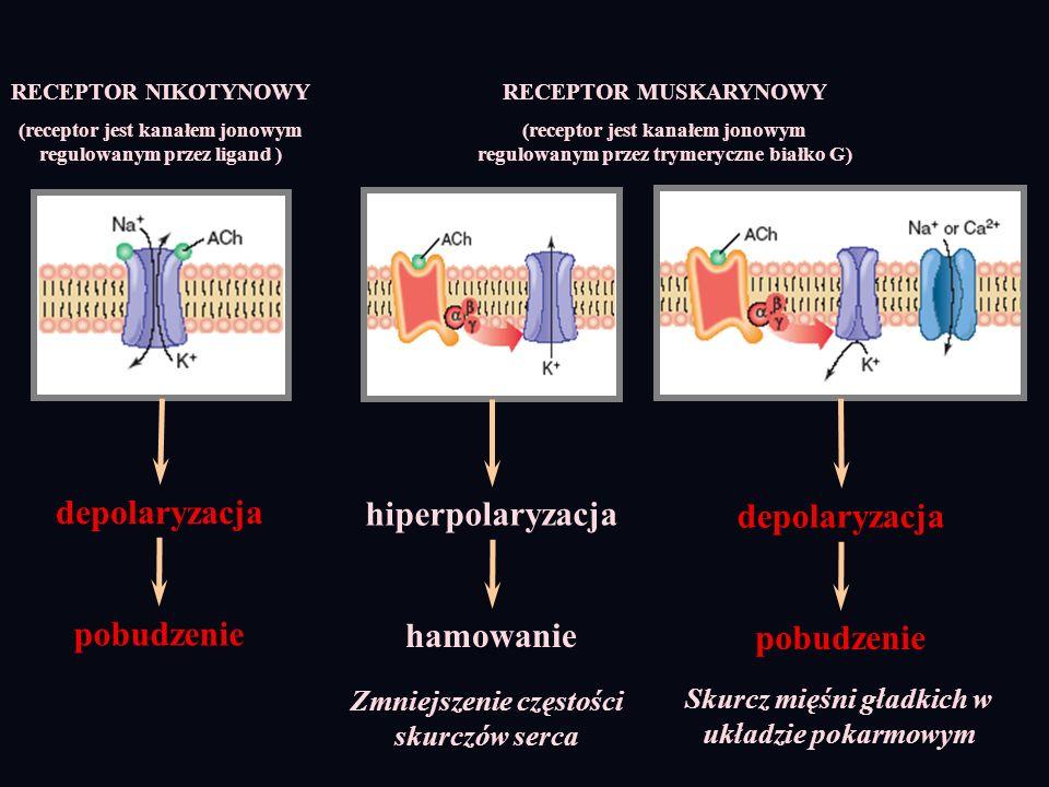 depolaryzacja hiperpolaryzacja depolaryzacja pobudzenie hamowanie