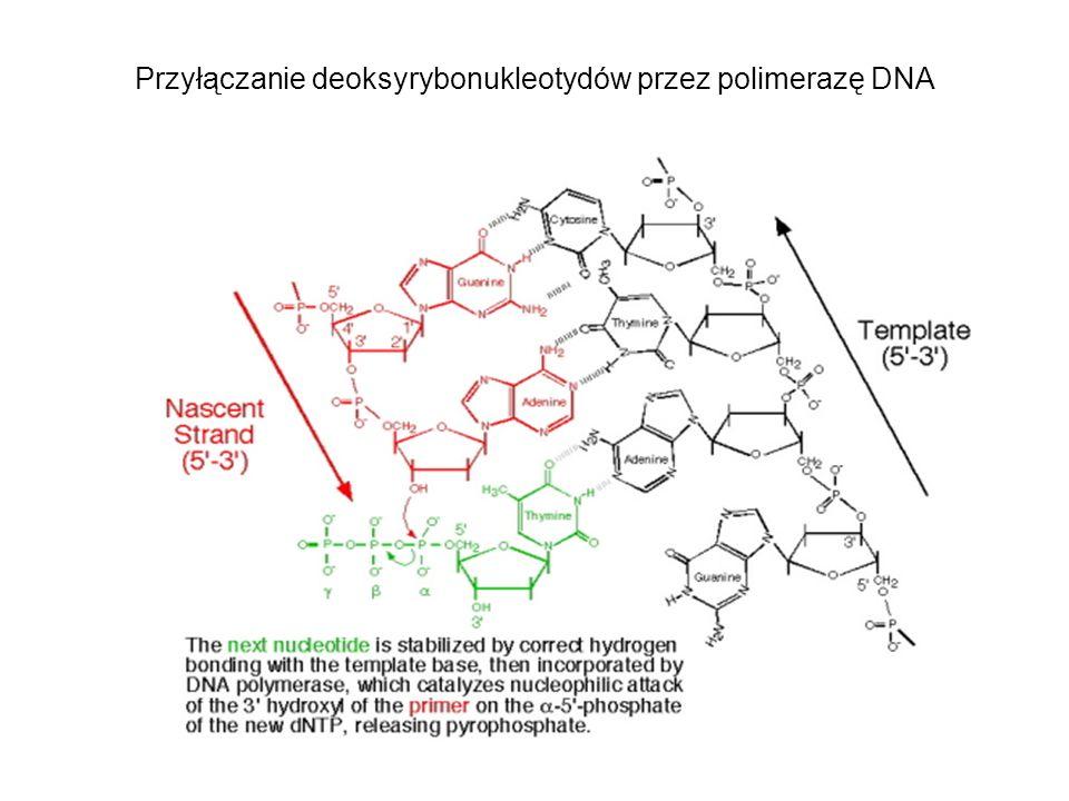 Przyłączanie deoksyrybonukleotydów przez polimerazę DNA