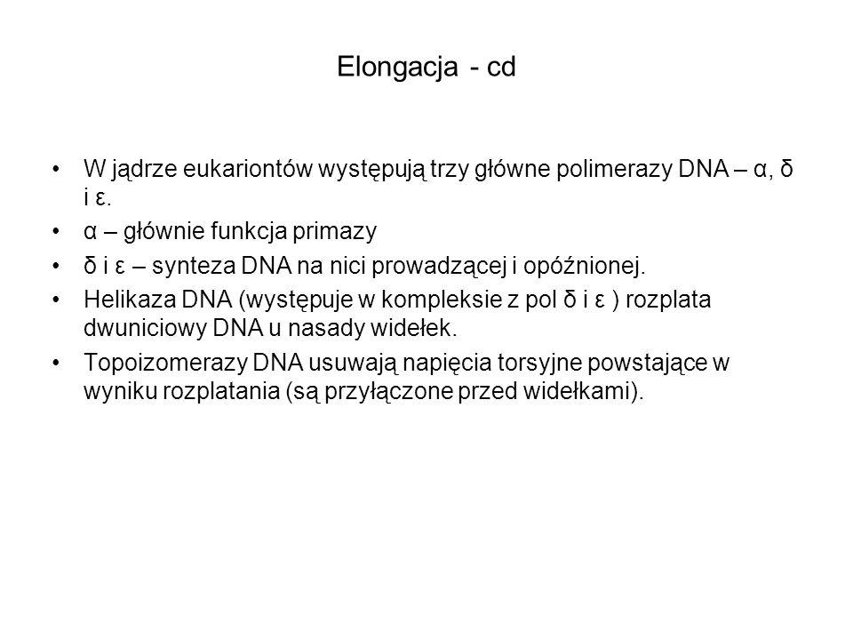 Elongacja - cd W jądrze eukariontów występują trzy główne polimerazy DNA – α, δ i ε. α – głównie funkcja primazy.
