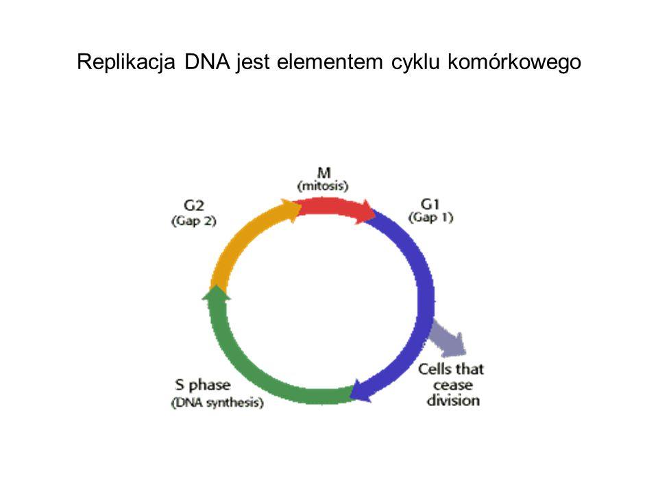Replikacja DNA jest elementem cyklu komórkowego