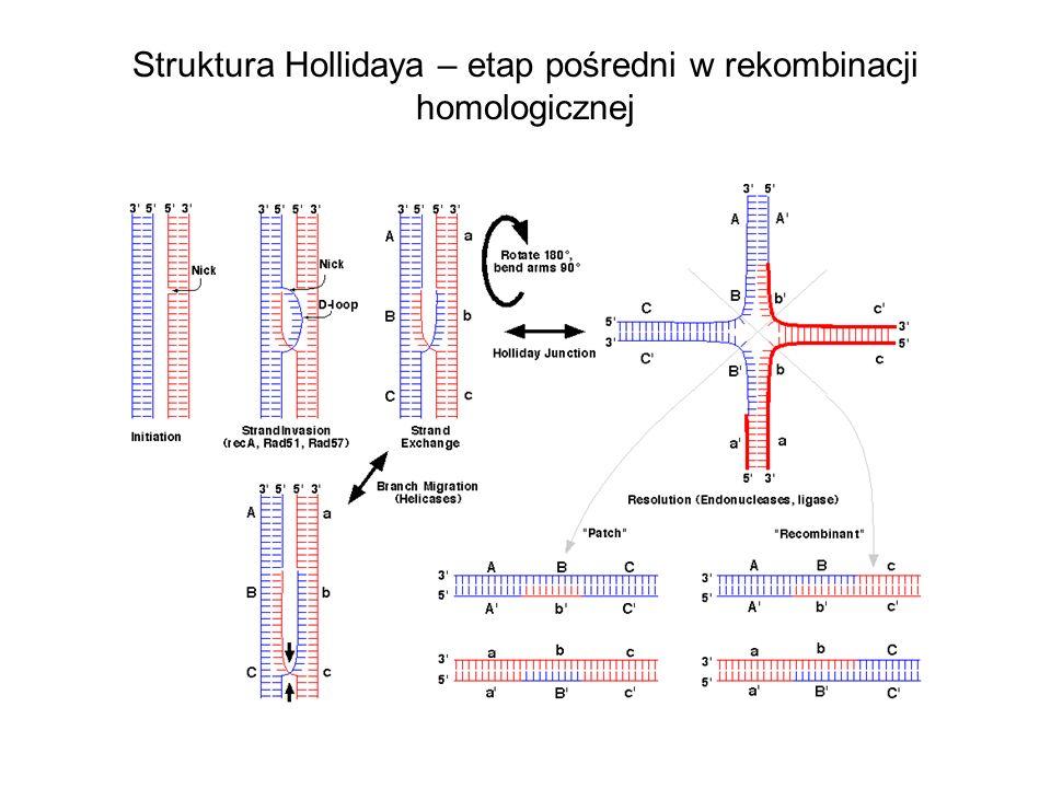Struktura Hollidaya – etap pośredni w rekombinacji homologicznej