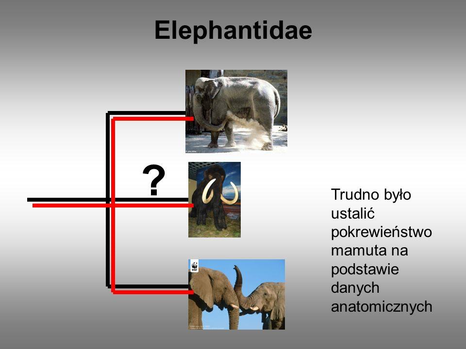 Elephantidae Trudno było ustalić pokrewieństwo mamuta na podstawie danych anatomicznych.