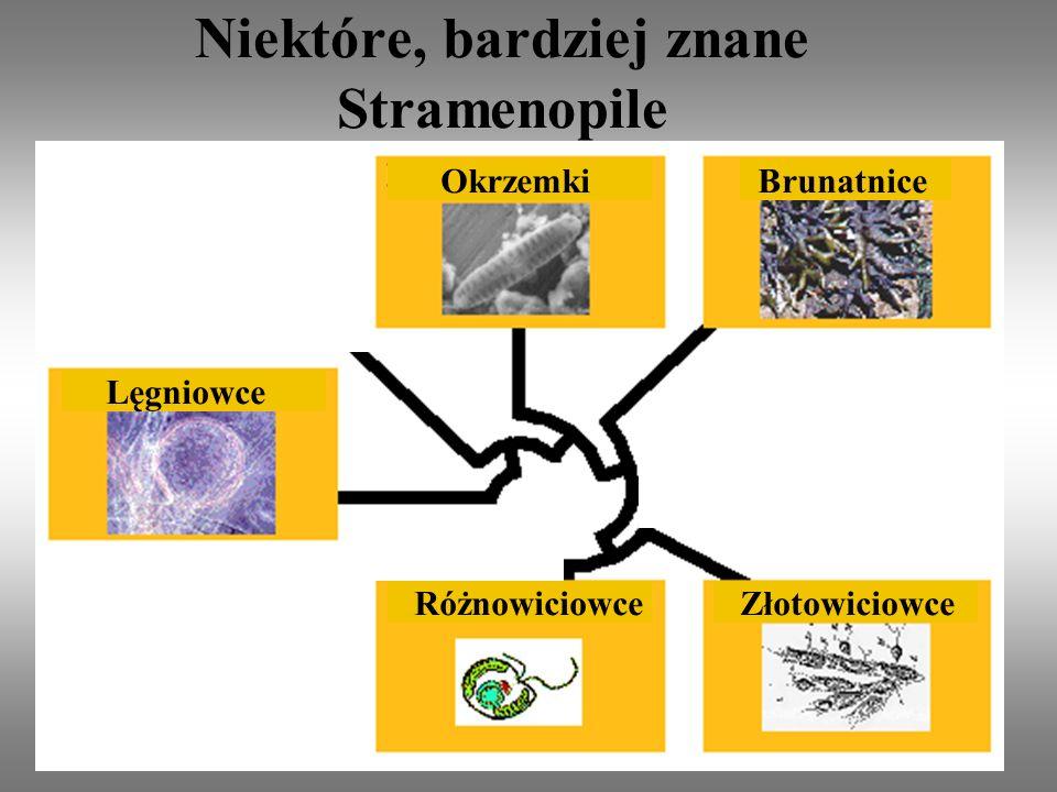Niektóre, bardziej znane Stramenopile