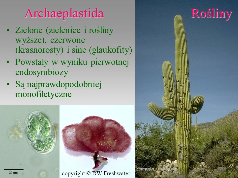 Archaeplastida Rośliny