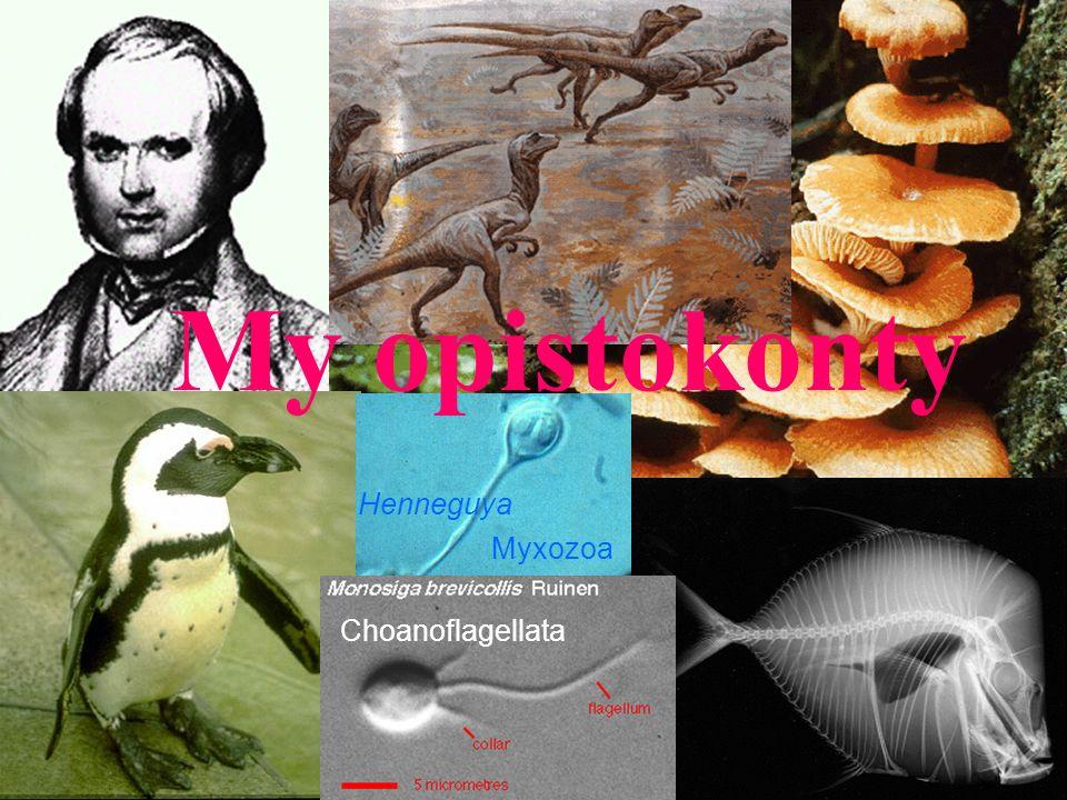 My opistokonty Henneguya Myxozoa Choanoflagellata