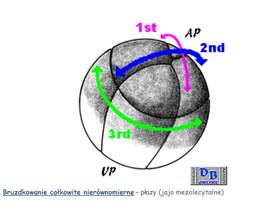 Bruzdkowanie całkowite nierównomierne – płazy (jajo mezolecytalne)