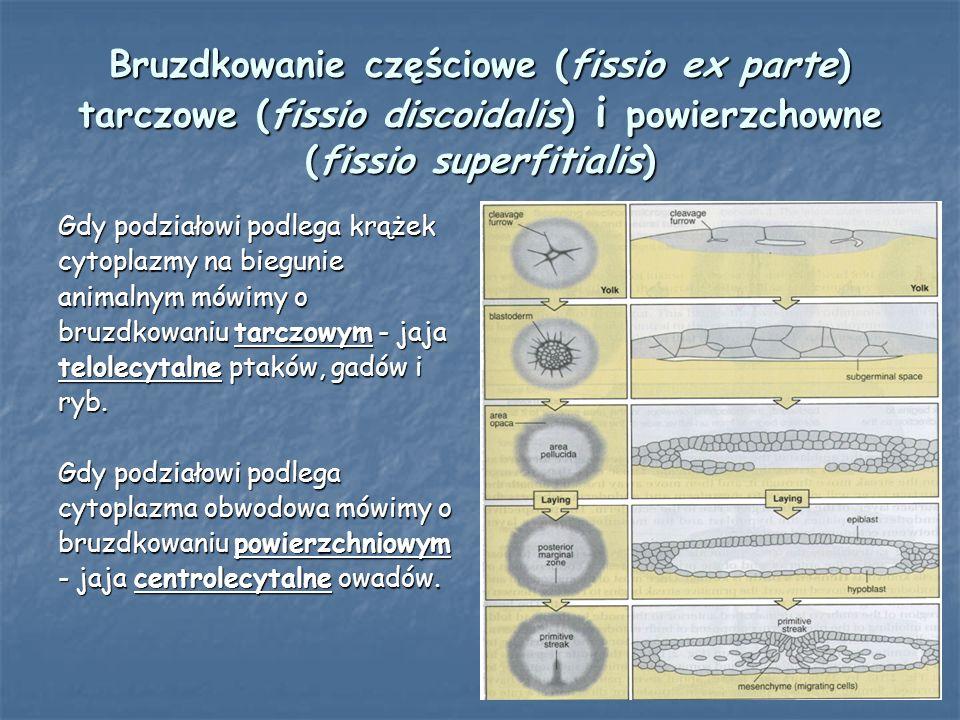 Bruzdkowanie częściowe (fissio ex parte) tarczowe (fissio discoidalis) i powierzchowne (fissio superfitialis)