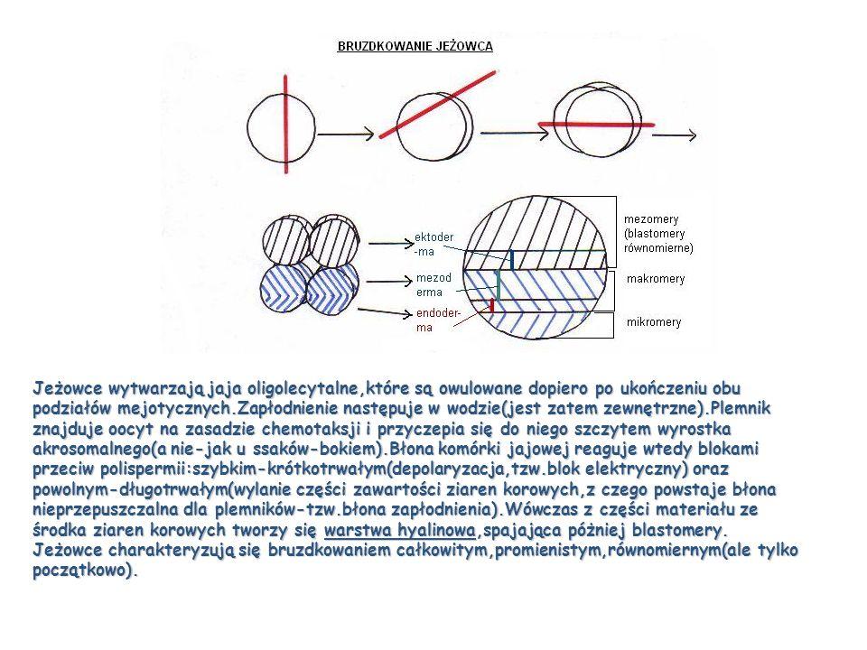 Jeżowce wytwarzają jaja oligolecytalne,które są owulowane dopiero po ukończeniu obu podziałów mejotycznych.Zapłodnienie następuje w wodzie(jest zatem zewnętrzne).Plemnik znajduje oocyt na zasadzie chemotaksji i przyczepia się do niego szczytem wyrostka akrosomalnego(a nie-jak u ssaków-bokiem).Błona komórki jajowej reaguje wtedy blokami przeciw polispermii:szybkim-krótkotrwałym(depolaryzacja,tzw.blok elektryczny) oraz powolnym-długotrwałym(wylanie części zawartości ziaren korowych,z czego powstaje błona nieprzepuszczalna dla plemników-tzw.błona zapłodnienia).Wówczas z części materiału ze środka ziaren korowych tworzy się warstwa hyalinowa,spajająca póżniej blastomery.