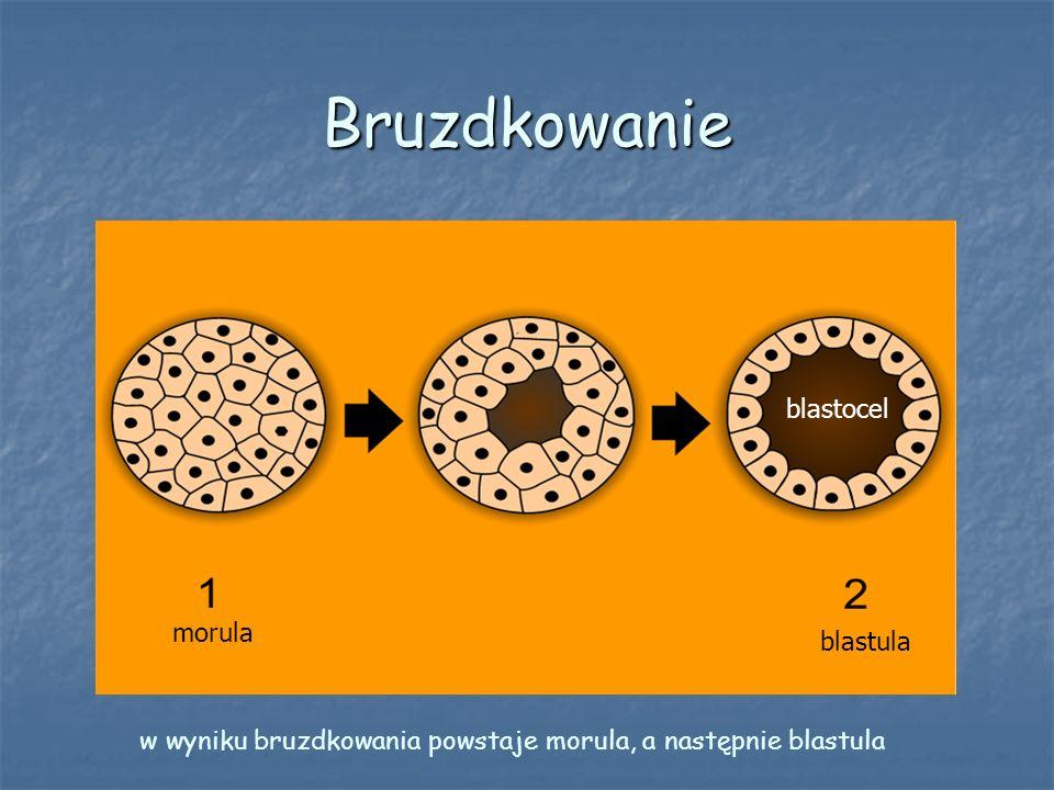 Bruzdkowanie blastocel morula blastula