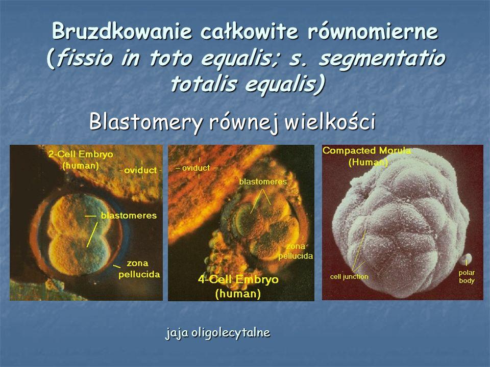 Blastomery równej wielkości