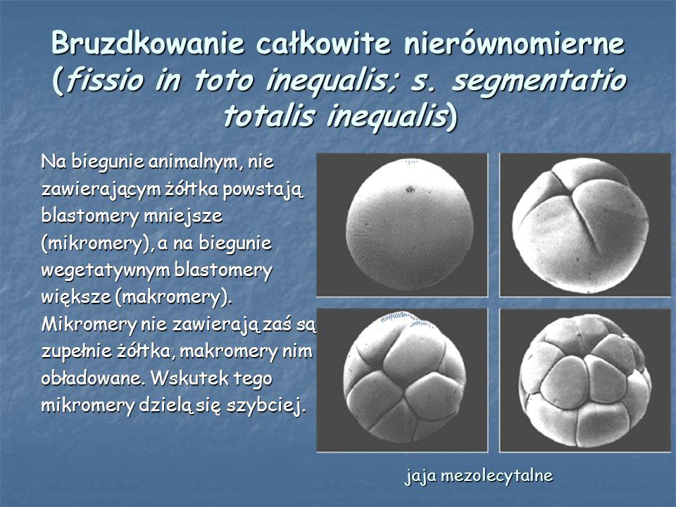 Bruzdkowanie całkowite nierównomierne (fissio in toto inequalis; s
