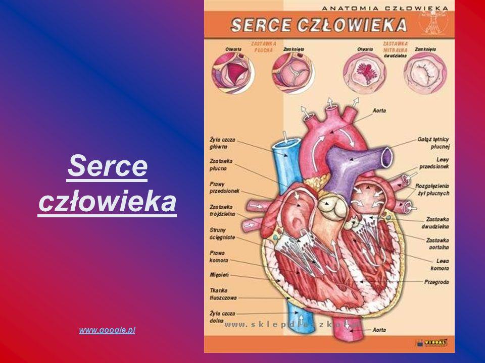 Serce człowieka www.google.pl