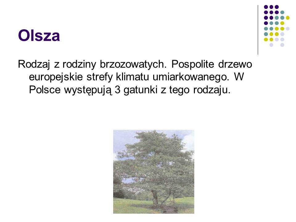 Olsza Rodzaj z rodziny brzozowatych. Pospolite drzewo europejskie strefy klimatu umiarkowanego.
