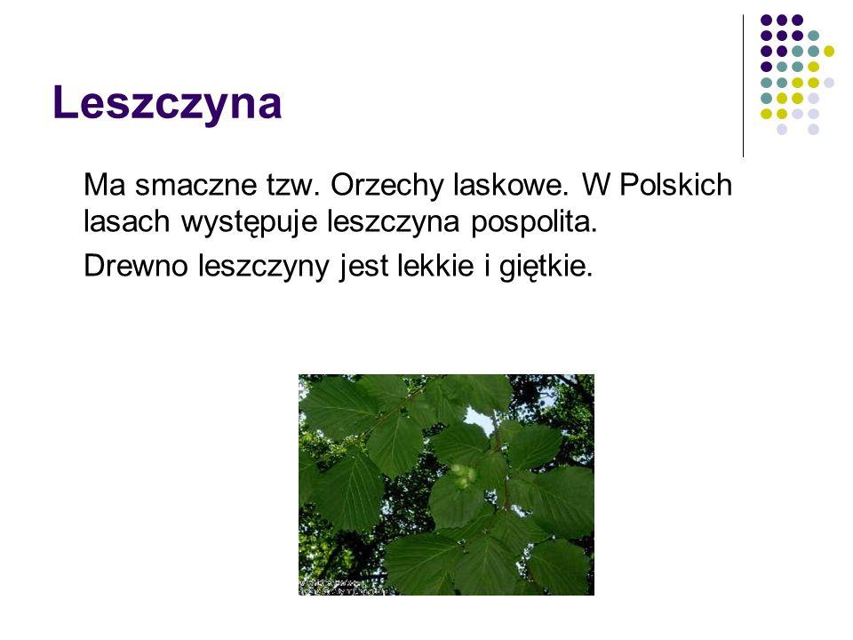 Leszczyna Ma smaczne tzw. Orzechy laskowe. W Polskich lasach występuje leszczyna pospolita.