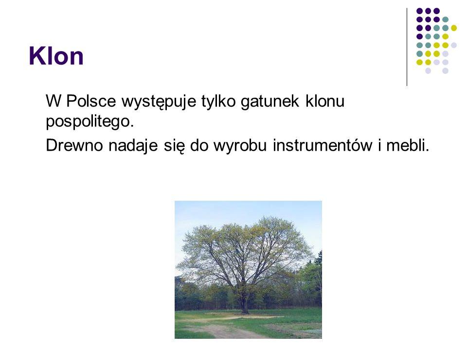 Klon W Polsce występuje tylko gatunek klonu pospolitego.