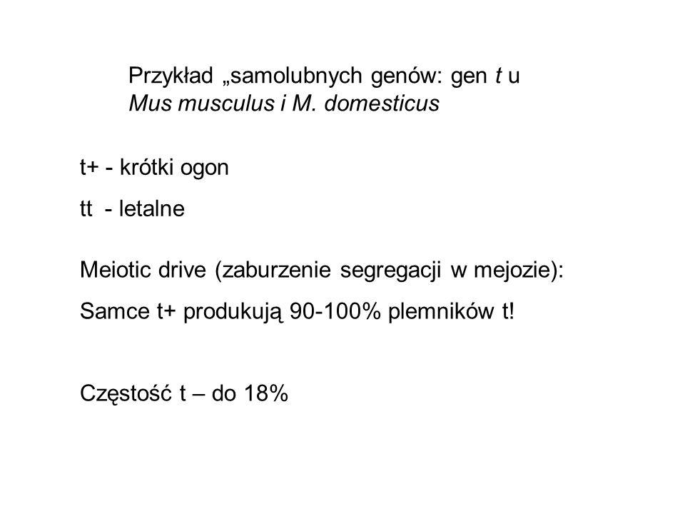 """Przykład """"samolubnych genów: gen t u Mus musculus i M. domesticus"""