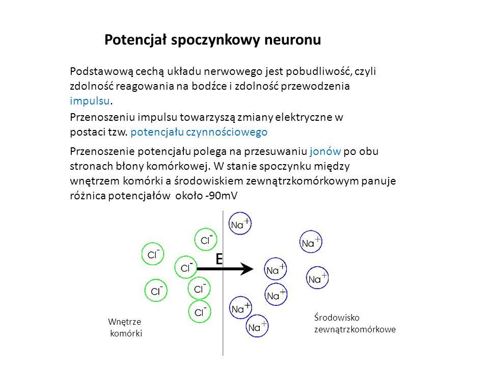 Potencjał spoczynkowy neuronu