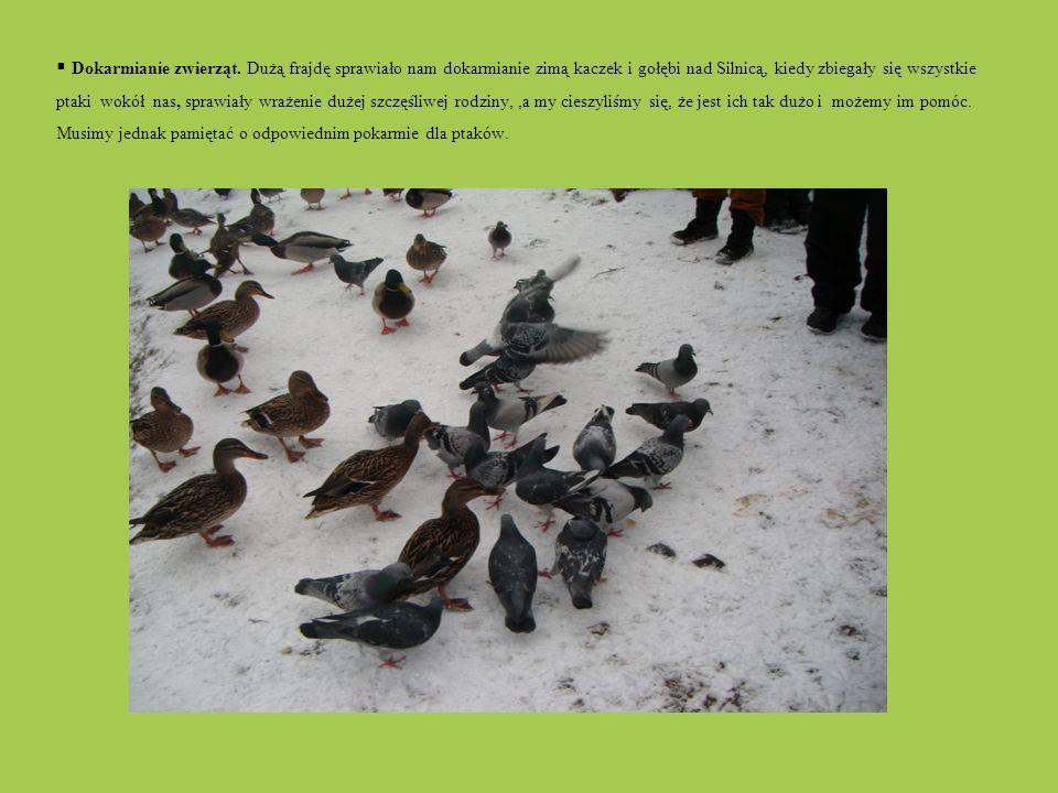 Dokarmianie zwierząt. Dużą frajdę sprawiało nam dokarmianie zimą kaczek i gołębi nad Silnicą, kiedy zbiegały się wszystkie ptaki wokół nas, sprawiały wrażenie dużej szczęśliwej rodziny, ,a my cieszyliśmy się, że jest ich tak dużo i możemy im pomóc. Musimy jednak pamiętać o odpowiednim pokarmie dla ptaków.