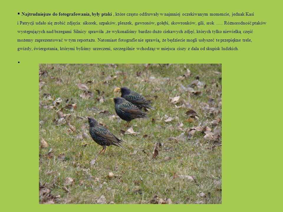 Najtrudniejsze do fotografowania, były ptaki , które często odfruwały w najmniej oczekiwanym momencie, jednak Kasi i Patrycji udało się zrobić zdjęcia: sikorek, szpaków, pleszek, gawronów, gołębi, skowronków, gili, srok ….. Różnorodność ptaków występujących nad brzegami Silnicy sprawiła ,że wykonaliśmy bardzo dużo ciekawych zdjęć, których tylko niewielką część możemy zaprezentować w tym reportażu. Natomiast fotografie nie sprawią, że będziecie mogli usłyszeć te przepiękne trele, gwizdy, świergotania, którymi byliśmy urzeczeni, szczególnie wchodząc w miejsca ciszy z dala od skupisk ludzkich.
