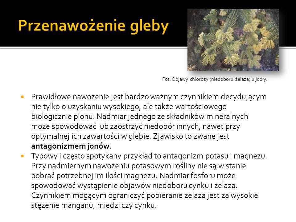 Przenawożenie glebyFot. Objawy chlorozy (niedoboru żelaza) u jodły.