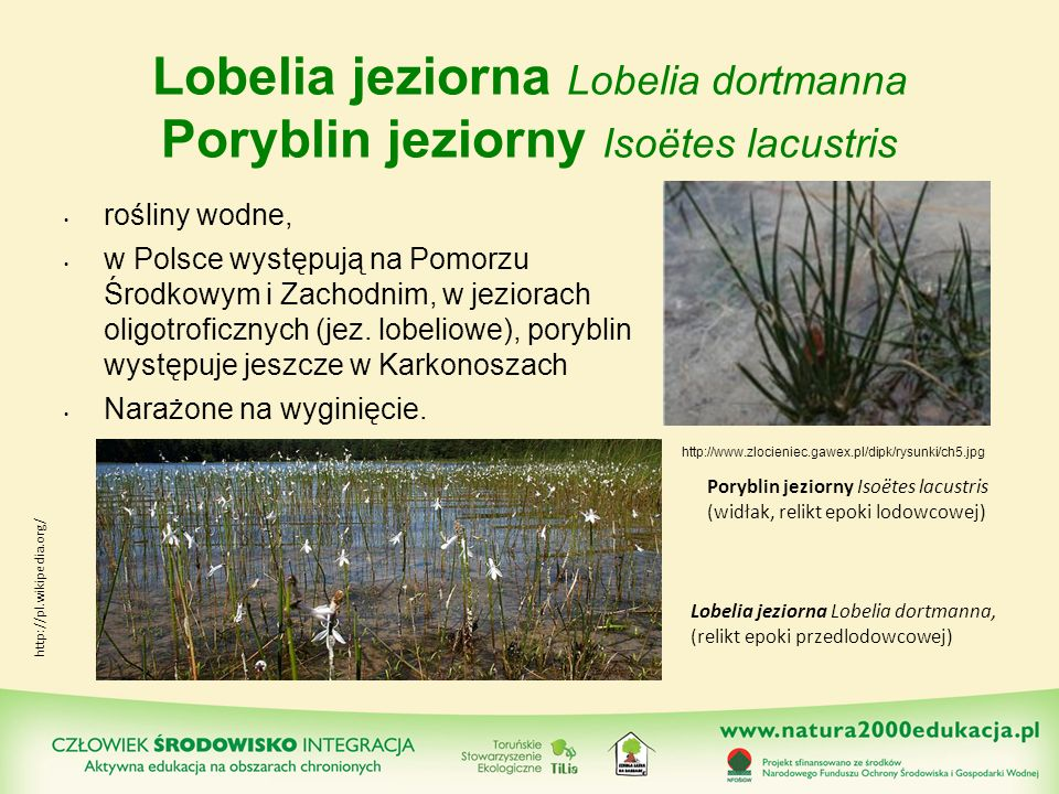 Lobelia jeziorna Lobelia dortmanna Poryblin jeziorny Isoëtes lacustris